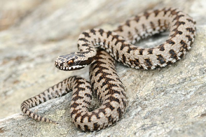 Schlangen-Ratgeber-Gehoer