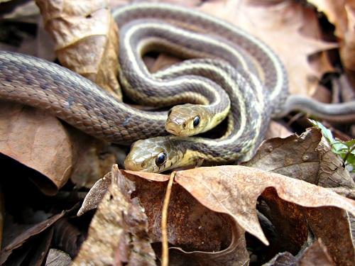 Schlangen paaren sich Fortpflanzung